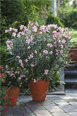 Nerium indicum Mill Fleur Nerium Oleander graines jardin Plantes ornementales Intéressant Bonsai Pots de fleurs Pots 50 Pcs 4