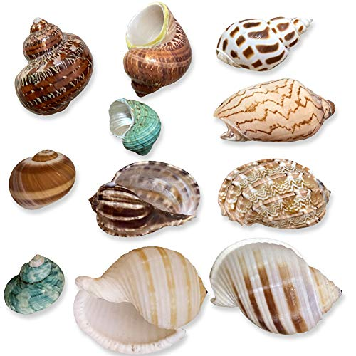 MemoChic Hermit Crab Growth Shells Turbo Seashell Natural Sea Conch Handpicked Hermit Crab House for Décor (Mixed, 11PCS)