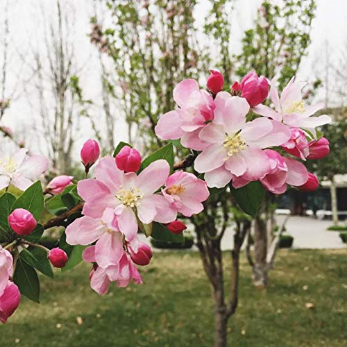 Eastbride mélange Fleurs graines,Begonia Begonia Seeds, Duli Tree Potted Flower Seedlings-100 Capsules,Fleurs ornementales pour Balcon