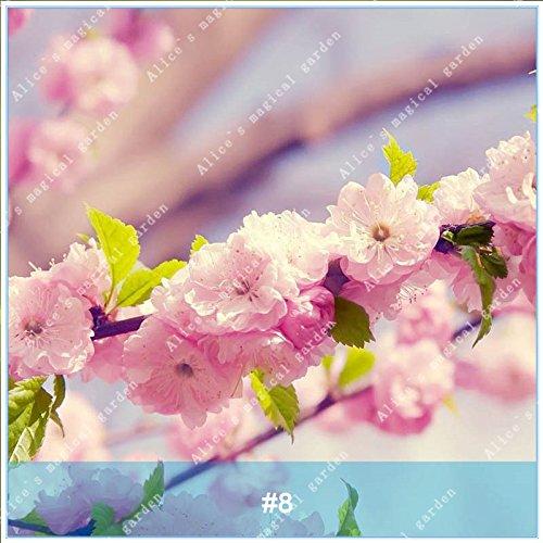 ZLKING 20pcs/pack japonais Sakura Fleurs Bonsaï Graines Cerasus yedoensis fleurs de cerisier facile de cultiver des plantes de fleurs exotiques 8