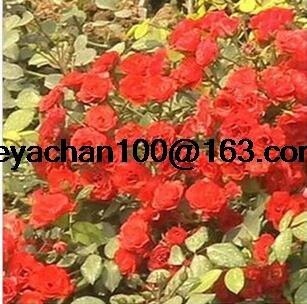 Rose rose plants de vigne étant miniature rose jardin paysager de 100 graines de fleurs