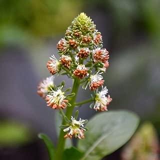 Sweet Mignonette Flower Seeds (Reseda Odorata Ameliorata) 200+Seeds
