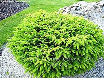 GEOPONICS 20pcs / bag Colorado Fichte Samen Samen Samen Topf Bonsai Hof Garten Bonsai Samen Pine Samen Seltene Samen Hausgarten 4