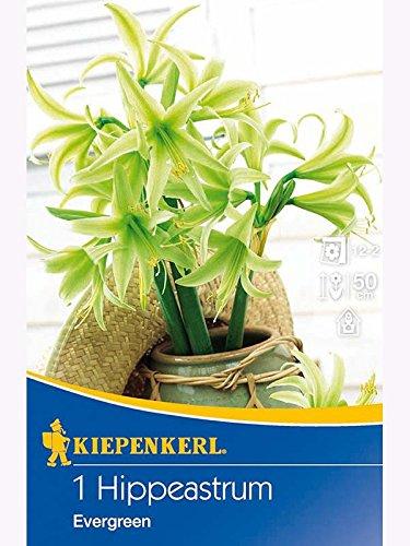 Amaryllis Hippeastrum Spezialität Evergreen gelbgrün