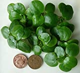 10 x mini amazon frogbit/piante vive