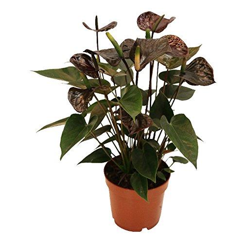 Exotenherz - Anthurium andreanum