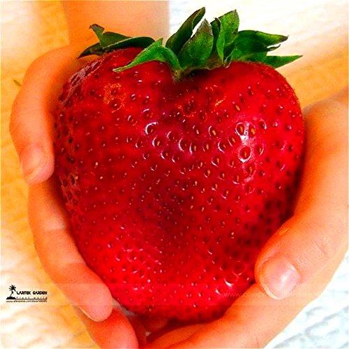 1000 graines géant fraises, rares, gros comme une pêche, très délicieux fruits graines de fruits fraises pour le jardin à la maison
