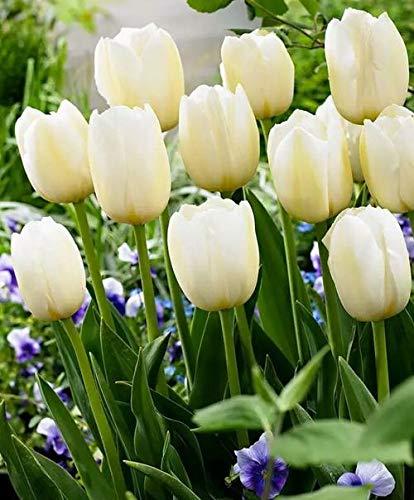 Tulipani bulbi olandesi,Nobile,Molto delicato,Colori vivaci,Fiori che sbocciano,-1,10Bulbis