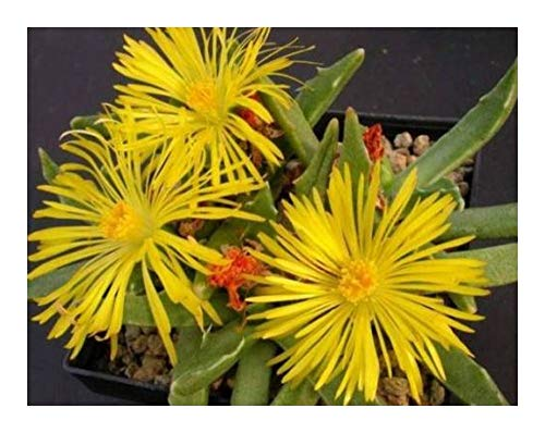 Faucaria paucidens - Tigerrachen - 50 Samen