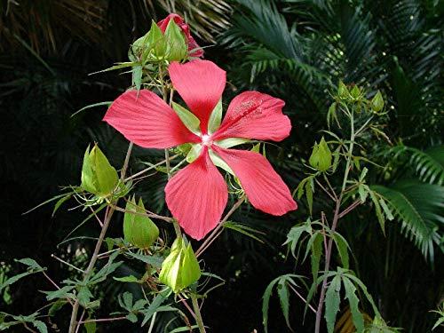 Hibiscus coccineus | Texas Star | 10_Seeds