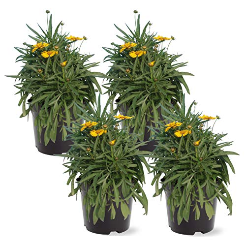The Three Company Live Perennial Assorted Coreopsis (4 Per Pack), 10-12' Tall