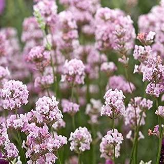 8PCS Lavandula angustifolia Rosea Lavender Seeds
