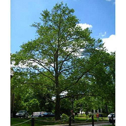 50 Samen: Amerikanische Platane-Baum-Samen, Platanus Occiis