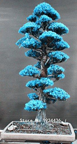 100% di semi Vero Sacro giapponese Cedar Professional Service Pack 20 Pz Semillas piante bonsai di abete, giardini domestici,