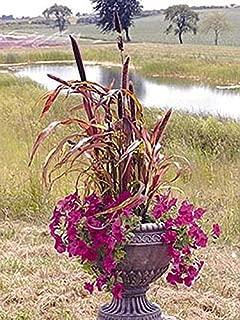 Pennisetum Millet Jester Annual Seeds