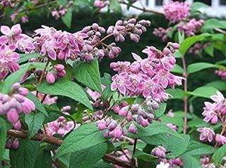 Mini Garden DEUTZIA 'STRAWBERRY FIELDS' - STARTER PLANT