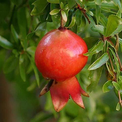 Pinkdose 50 Teile/beutel Granatapfel pflanze köstliche obst bonsai pflanze mehrjährige indoor obstbaum familie garten dekorative zierpflanzen