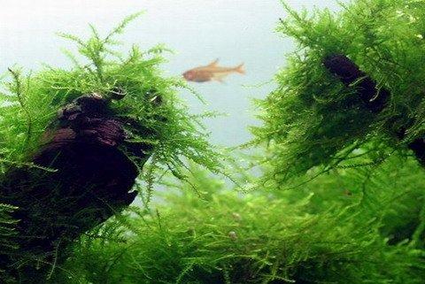 WFW wasserflora In-Vitro Java-Moos/Taxiphyllum barbieri - Javamoos