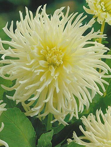 Kaktus Dahlien White Star Knolle Blumenzwiebel (3 Knollen)