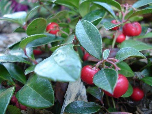Rote Teppichbeere im Topf 12 - 18 cm