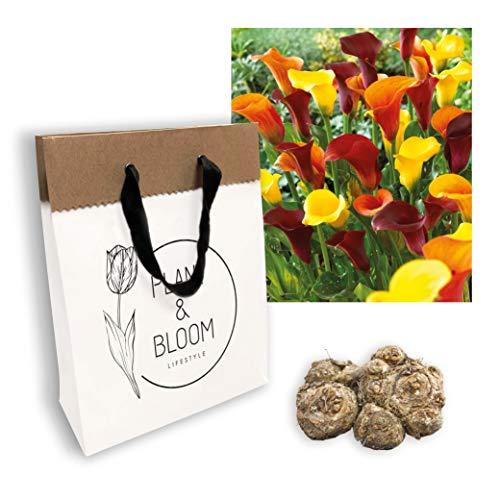 Plant & Bloom Callazwiebeln aus Holland, 3 Zwiebeln - Leicht zu züchten - Für das ganze Jahr in Ihrem Garten - Holländische Qualität - Orange-Rote-Gelbe Blüten - Traum in Orange