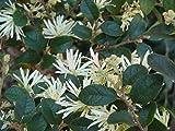 ScoutSeed 5 graines de LOROPETALE DE Chine (Loropetalum Chinense) H337 Bonsai SAMEN Seeds