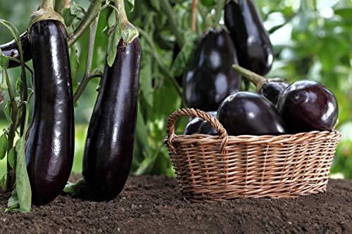 Melanzana - Bakłażan Violetta Lunga 3 - Solanum melongena - semi