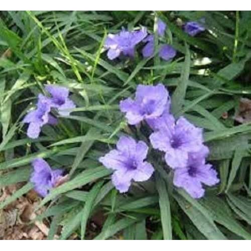 Amazon Mexican Petunia Purple Flowers Ten Plants