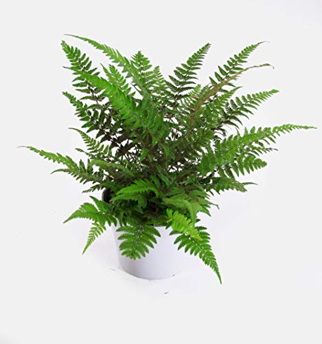 Isenzo Farne Zimmerpflanze Dryopteris Grüne Schön Blätter - Mattgrün13 cm-Topf