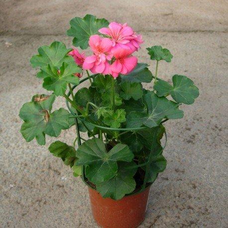 Murciana Gitanilla Planta Natural Pequeña Con Flor En Maceta - Planta Decorativa y Ornamental