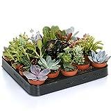 Mix Piante Succulente - 20 piante - Pianta da Vaso per Interni Casa / Ufficio