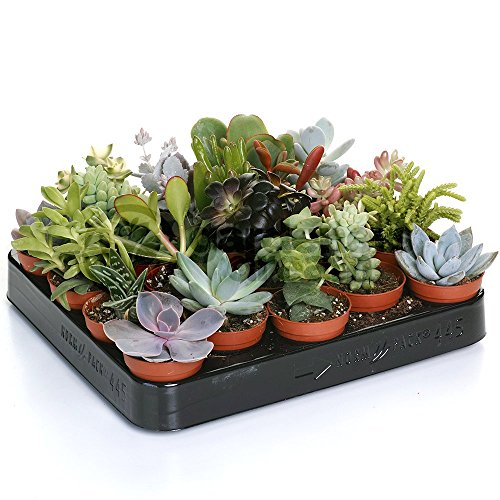 Succulent Mix - 20 Plants - House/Office Live Indoor Pot Plant - Ideal Gift