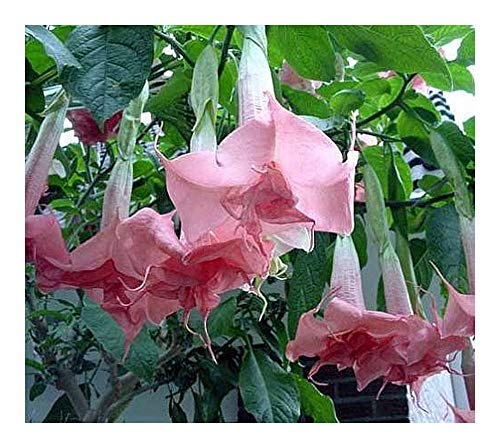 Brugmansia Pink Delight - Engelstrompete - 10 Samen