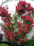 Red Climbing Rose Rosa Bush Vine Climber Fragrant Butterfly Flower Jocad (5 Seeds)