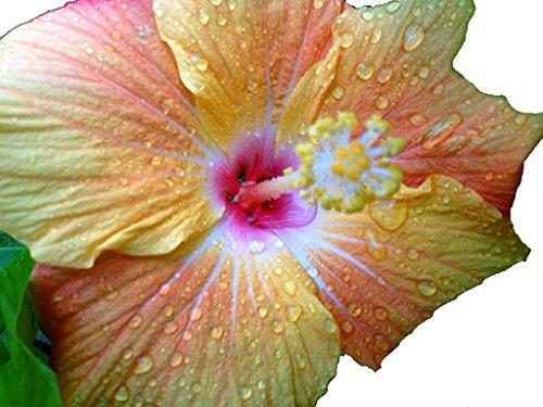 Best Summer Flower -Hibiscus