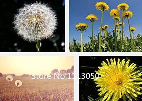 Vente! Livraison gratuite de 10 sortes Bonsai pissenlit Graines 100% d'origine biologique Graines Blooming Flower Garden plantes