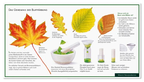 Blattfärbung im Herbst - Spitzahorn - Stieleiche - Hasel - Rotbuche - Wawra Naturpostkarte zum Entdecken, Beobachten, Bestimmen - 22 cm x 12 cm