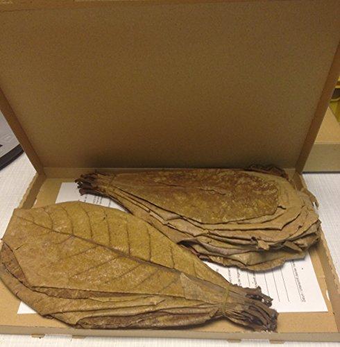 Speciale aanbieding: 100 gram (ca. 35 stuks 20-30 cm) zeemandelboombladeren Terminalia Catappa Leaves topkwaliteit