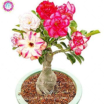 Rare double Pétales Desert Rose Graines, Adenium obesum Graines Bonsai Fleurs vivaces Graines Balcon Plante en pot Air purifiant