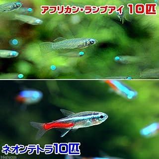 (熱帯魚)アフリカン・ランプアイ Sサイズ(10匹) + ネオンテトラ(10匹)(計20匹) 北海道・九州・沖縄航空便要保温