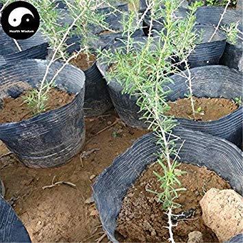 Keimfutter: 100 Stück: Kaufen Schwarz Goji Beere Pflanze Schwarz Bocksdorn für Schwarz Goji Beeren