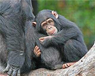 Best cute baby chimpanzee pictures Reviews