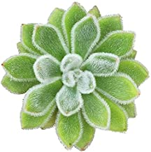Echeveria Doris Taylor Woolly Rose Indoor Plant Hairy Fuzzy Leaves Rosette Style Succulent Exotic Succulent Plants Rare Succulent - 4'' Plants