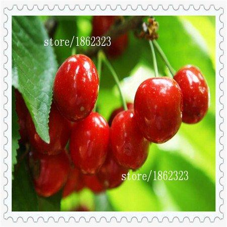 Nouvelle arrivée! Direct US Cerises graines de graines de cerisier cerisier nain de graines de fruits Sud sementes da Fruta, 10 Pcs / paquet