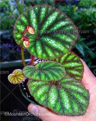 FINFAST 200 Grams Mahagony Seeds Swietenia Macrophylla