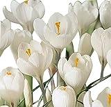 10 White Crocus Corms
