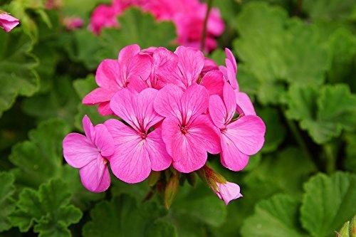 Rose Graines de géranium - Pelargonium