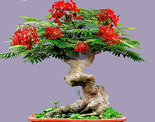 Flamboyant Fmale Tree Seeds - 10 Seeds