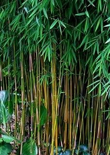 fargesia bamboo plants