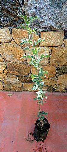 Pianta di azzeruoli Albero azzeruolo rosso